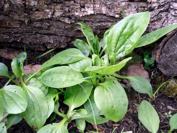 Лісові і польові рослини в саду: подорожники