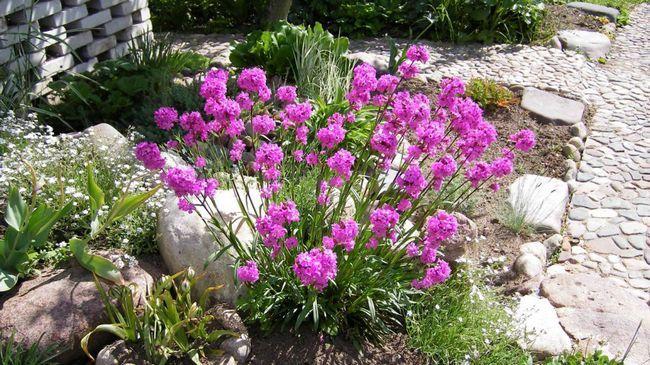 Ліхніс - невибагливий садовий житель с «палаючими» суцвіттями