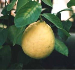 Limon iz kostochki.