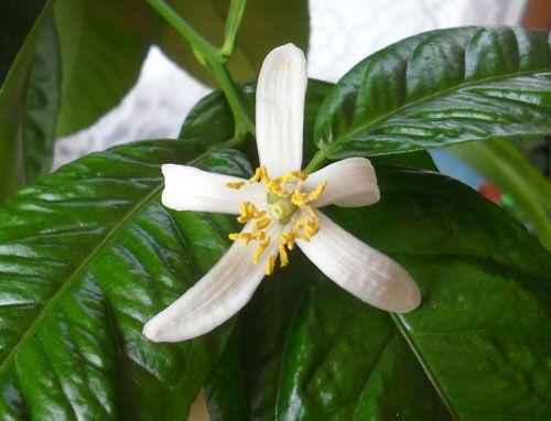 квітка лимона