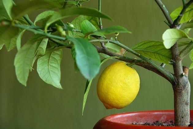 Лимон з кісточки