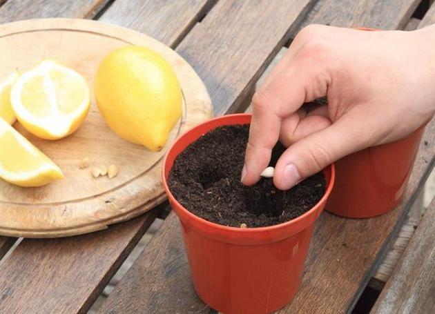 Лимон з кісточки частина 2