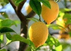Лимонне дерево зі звичайної кісточки