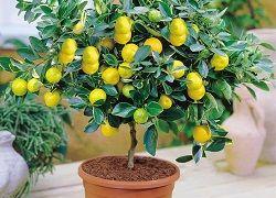 Домашнє лимонне дерево