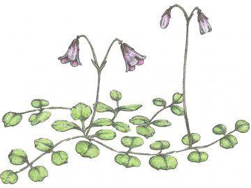 Ліннея північна: дивовижне лікувальна рослина