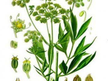 Листя, насіння і корінь любистку - для смаку і здоров`я