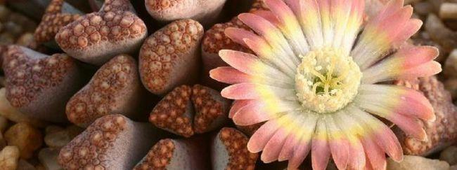 Літопси - живі камені