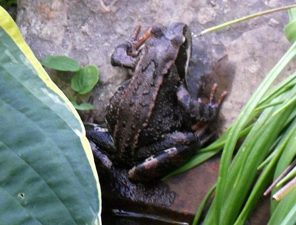 Жаба на камені