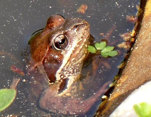 Жаба в воді
