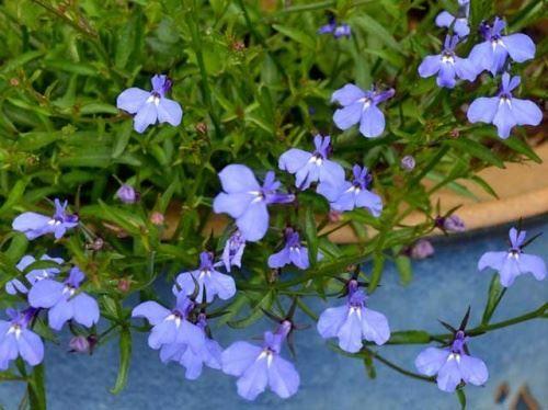 Лобелія -   «хитрощі» з вирощування розсади