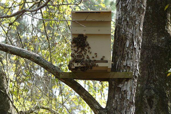 Пастка для бджіл: виготовлення та місця установки