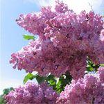 Місячний календар квітникаря. Май 2012.