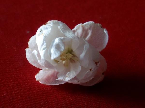 Махровий квітка