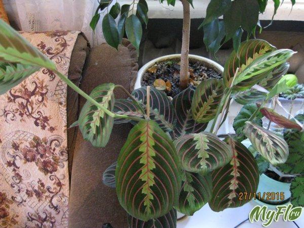 Маранта, фікус бенджаміна, кротон, драцена, фото: вирощування і догляд ранок п`ятниці в маленькому воронежі