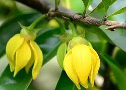 Квіти іланг-іланг