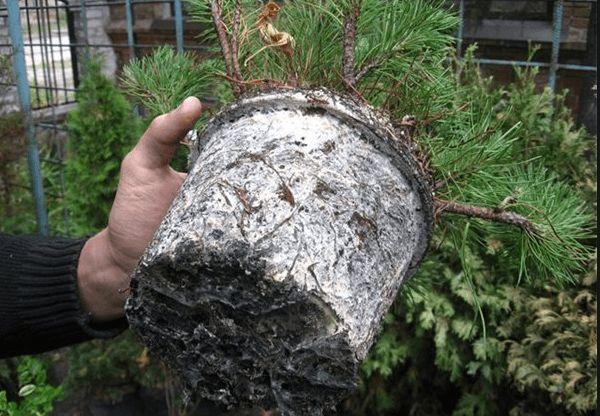 Борошнистий червець на листку