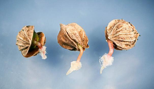 скарифікація насіння