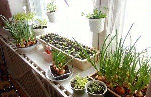 овочі на підвіконні