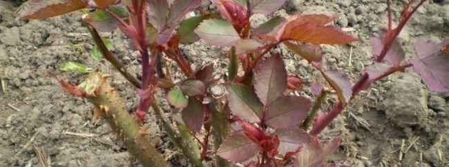 Мирт: опис рослини, догляд за миртом, розмноження мирта