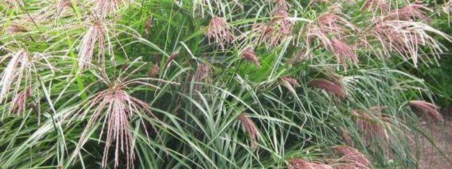 Міскантус: опис, розмноження, догляд, посадка, застосування в саду, фото, сорти і види