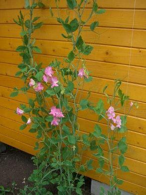 Багаторічний запашний горошок для саду