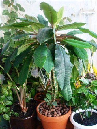 Молочай беложілковий: пальма на вашому вікні