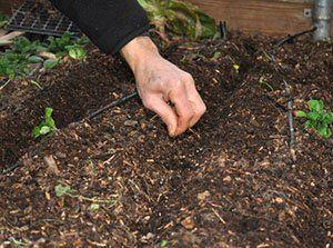 Посів овочів на грядку
