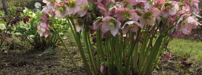 Морозник: опис квітки, сорти і види морозника, розмноження морозника, шкідники рослини
