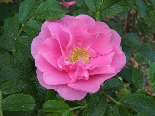 Зморшкувата троянда