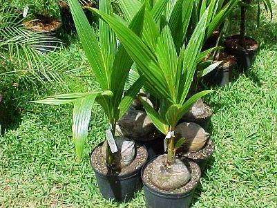 Чи можна виростити кокос в домашніх умовах?