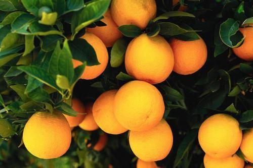 Чи можна виростити плід апельсина у себе вдома