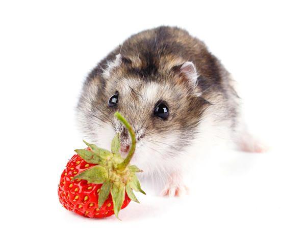 Посадивши на суничної грядці кілька кущів ціноглоссума (чернокорня), про мишей можна буде забути