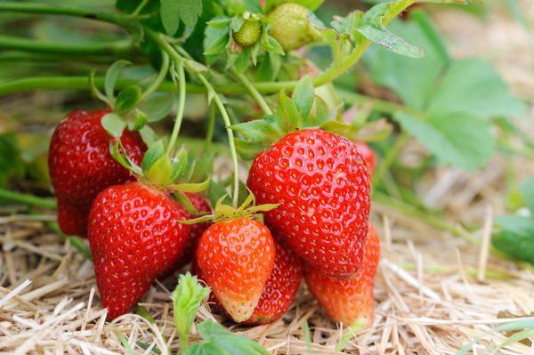Солома добре пригнічує бур`яни, захищає ягоди від бруду і гниття.