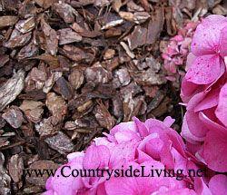 Мульчування. Деревна кора в якості корисної та декоративної мульчі (мульчують матеріалу) під гортензією в моєму саду