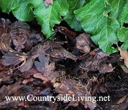 Мульчування. Напівготовий листовий перегній в якості мульчі (мульчують матеріалу) під ревенем в моєму саду