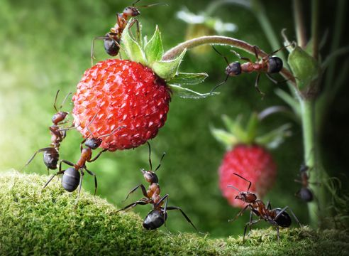 Мурахи, ягоди