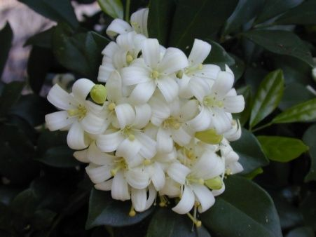 Муррайя - секретне рослина імператорів