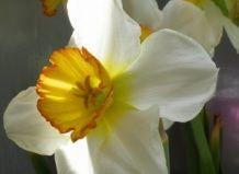 Нарциси - жінкам і валлійцям?