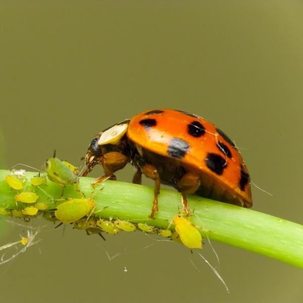Комахи харчуються попелиць