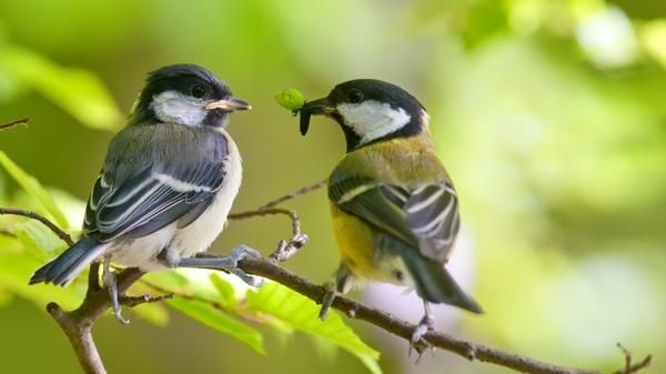 Птахи охоче харчуються попелиць