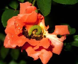 Комахи-шкідники, які нападають на троянди