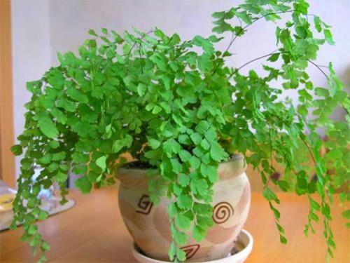 Назви папоротей для вирощування в кімнатних умовах