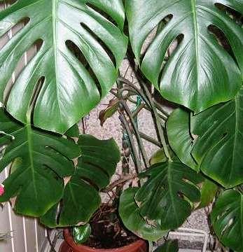 Нецветущіе кімнатні рослини для вашого будинку