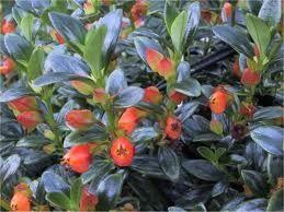 Нематантус - вирощування в домашніх умовах