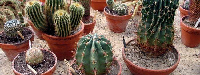 Необхідний догляд за кактусами