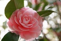 Незвичайний для декору квітка - камелія