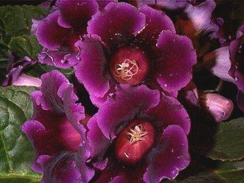 Невибагливі квітучі кімнатні рослини