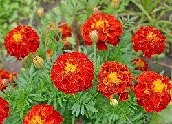 Невибагливі багаторічні квіти