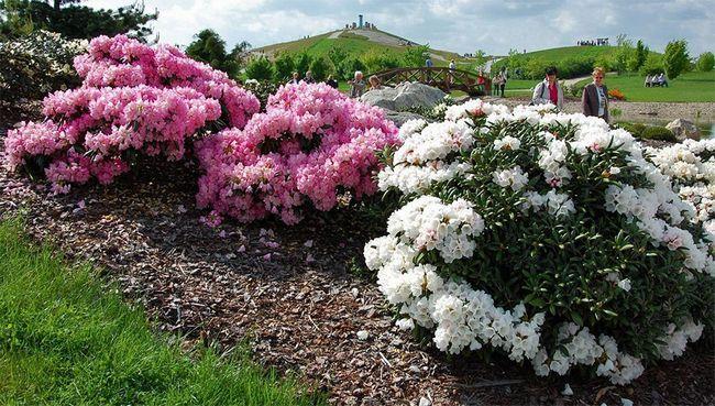 Рододендрон - примхливий красень, вирощування і догляд за фото