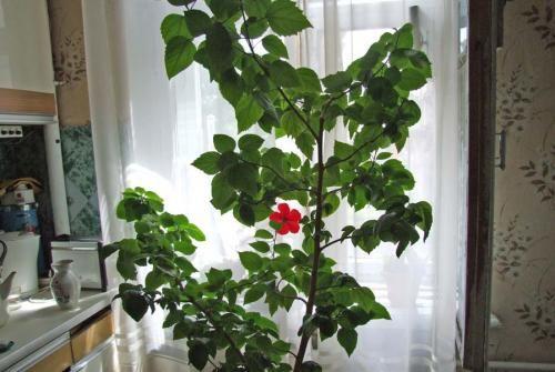 Невибагливий догляд за китайською трояндою